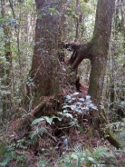 Antarctic                   beech tree in cool temperate rainforest