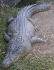 Saltwater crocodile                             basking