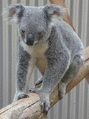 koala at Daisy Hill