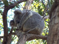 wild koala at Redlands Indigiscapes