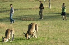 walking past wild kangaroos