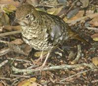 Bassian thrush at                                         Binna Burra